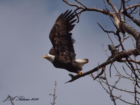 A Bald Eagle at Kokanee Creek