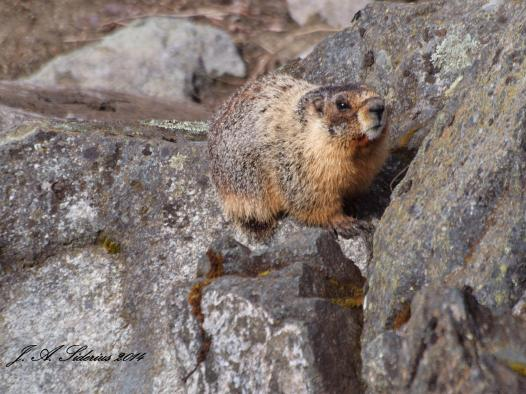 A Yellow-bellied Marmot sunning.