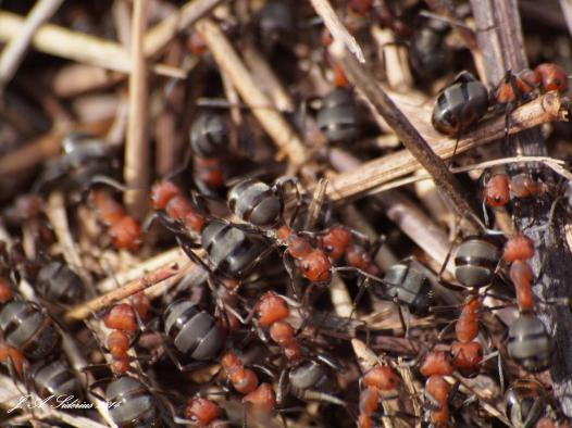 Ants of the family Formidae