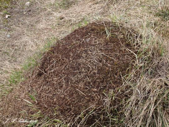 The large ant hill built by ants in the family Formidae.