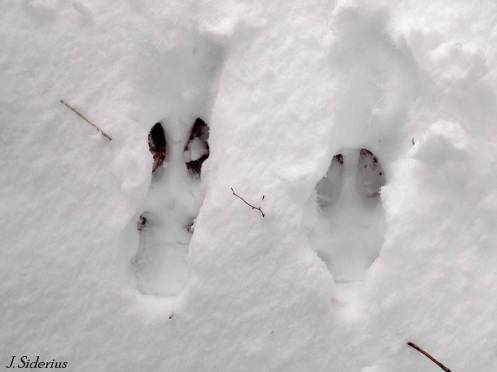 A White-tailed Deer print in snow