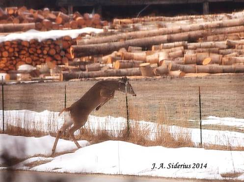 A White-tailed Deer leaping a fence