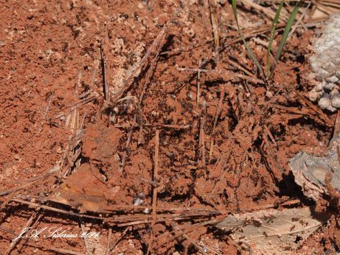 European Fire Ants