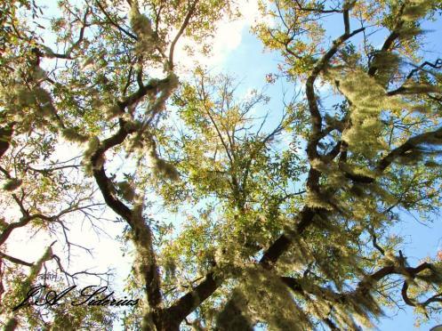 The sky through spanish moss