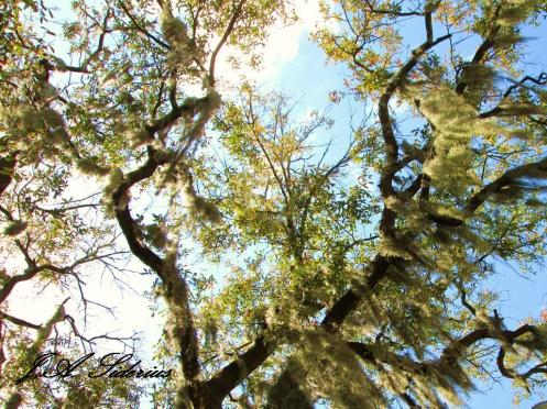 The sky through spanish moss