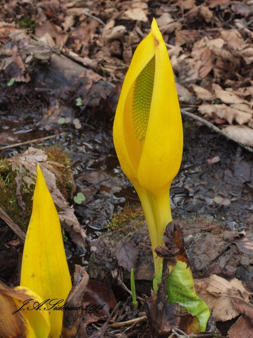 A Skunk Cabbage emerging from the newly thawed swamp