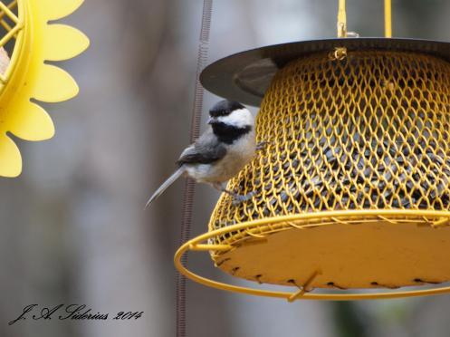 Carolina Chickadee - a greyer tail than the Black-capped Chickadee
