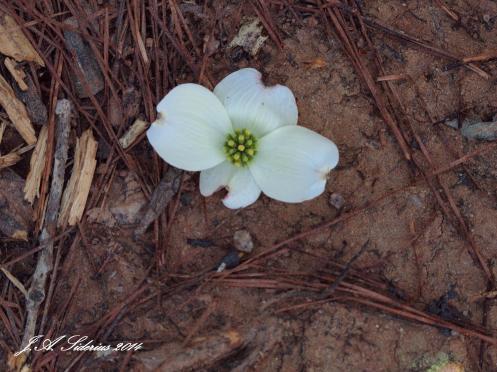Flowering Dogwood flower