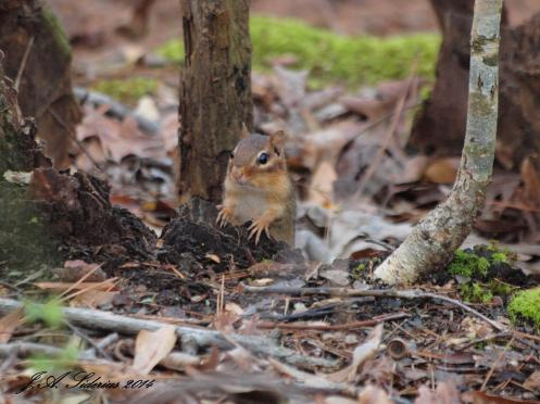 Eastern Chipmunk watching for an opportunity