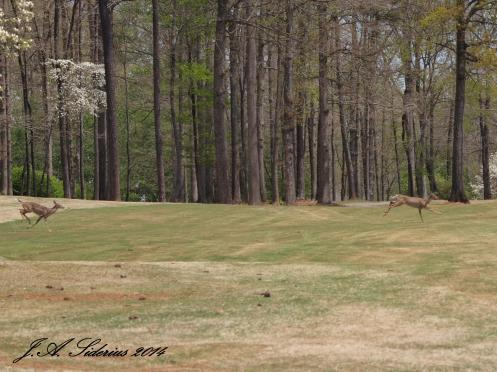 White-tailed Deer on the golf course
