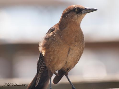 Great Boat-tailed Grackle Female