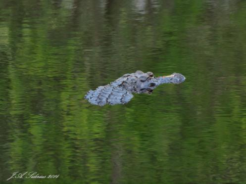 American Alligator floating in the water at Okefenokee