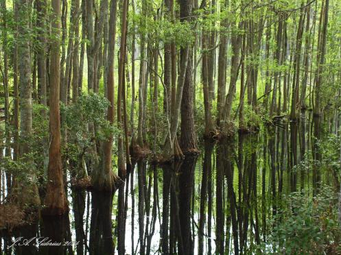 Cypress Trees at Okefenokee