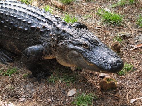 A large American Alligator walking on land
