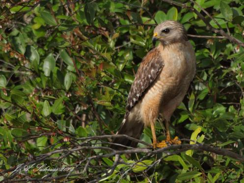 A Red-shouldered Hawk at Okefenokee NWR