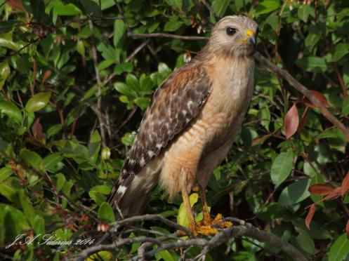 A Red-shouldered Hawk hunting at the side of the road