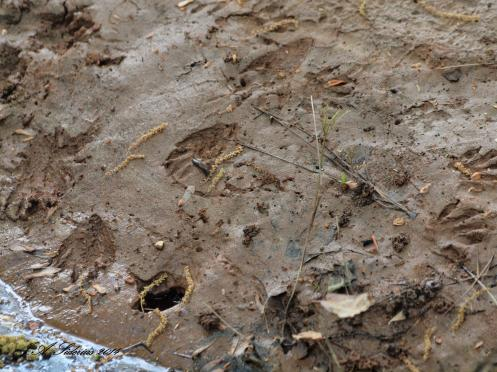 Raccoon Tracks on a creek bank