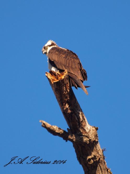 An Osprey surveying Kootenay Lake this April