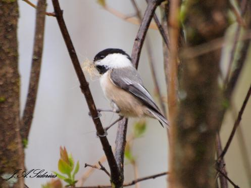 Black-capped Chickadee with dog hair for nesting