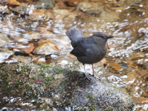 An American Dipper in the spring spawning channel at Kokanee Creek PP