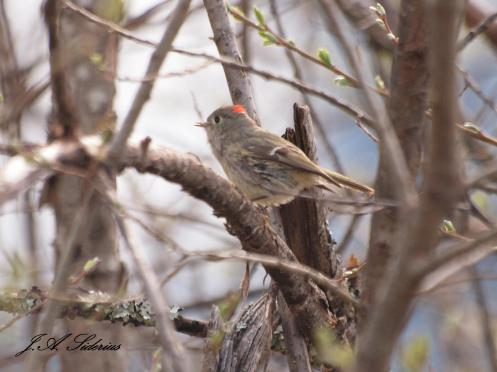 Singing Ruby-crowned Kinglet singing and showing off his red topnot