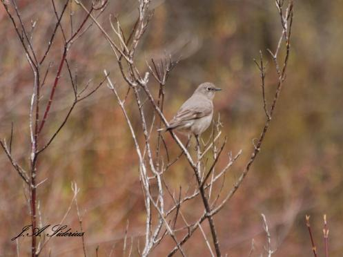 Townsend's Solitaire at Kokanee Creek