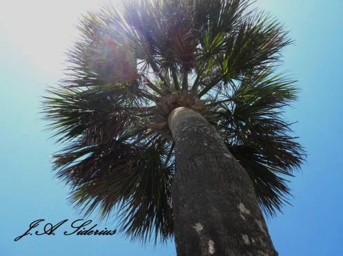 Palm in Georgia