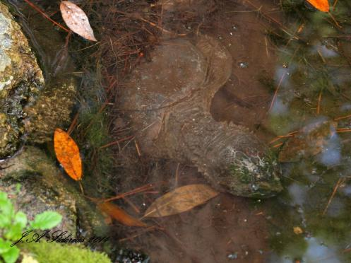 Snapping Turtle hidden in the waters of Okefenokee