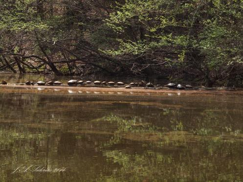 Several Turtles Basking in the Sun
