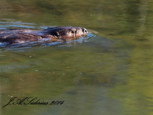 Beaver swimming in Kokanee Creek