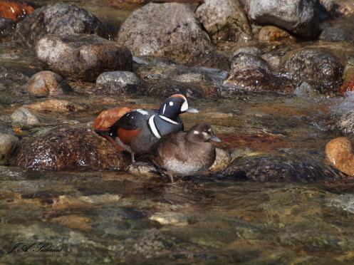 A pair of Harlequin Ducks