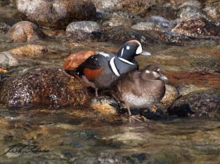 A pair of Harlequin ducks spotted at Kokanee Creek in the spring of 2014.