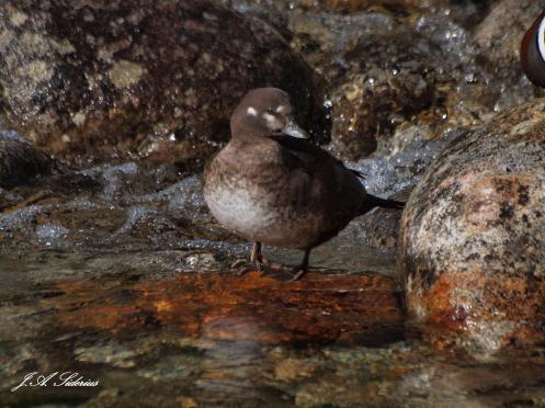 Female Harlequin Duck