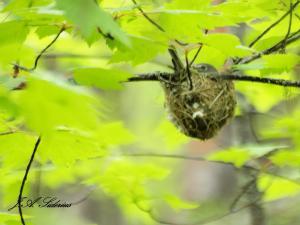 Nesting Cassin's Vireo