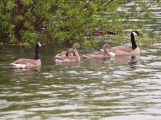 Canada Geese and their gangly gosslings