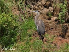 Great Blue Heron at Kokanee Creek