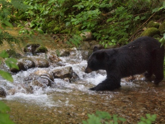 Black Bear fishing in the spawning channel