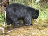 Black Bear fishing for Kokanee Salmon