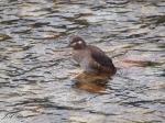 Harlequin Duck