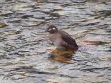Female Harlequin Duck preening