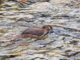 Female Harlequin Duck looking for food