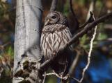 Barred Owl perched in the back woods