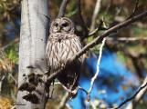 Barred Owl watching the mobbing chickadees
