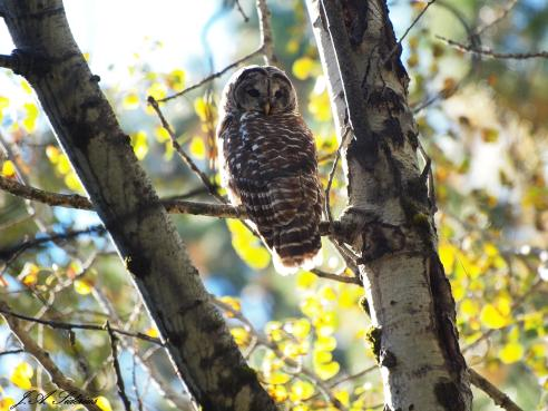First sight of a Barred Owl