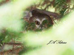 Saw-whet Owl peering at Steller's Jay