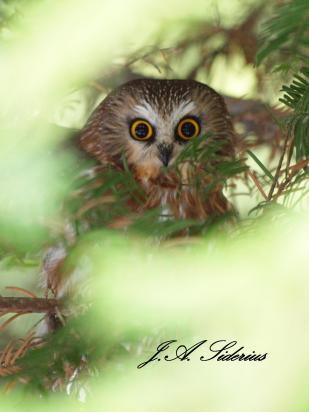 Saw-whet Owl Roost