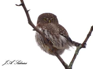 Pygmy Owl on Watch