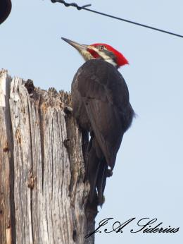 Pileated Viewpoint