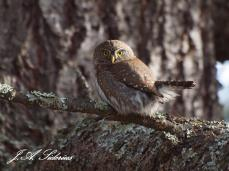 Pygmy Owl rousted by Chickadees