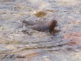 Swimming Dipper